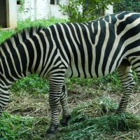 The tailless Zebra