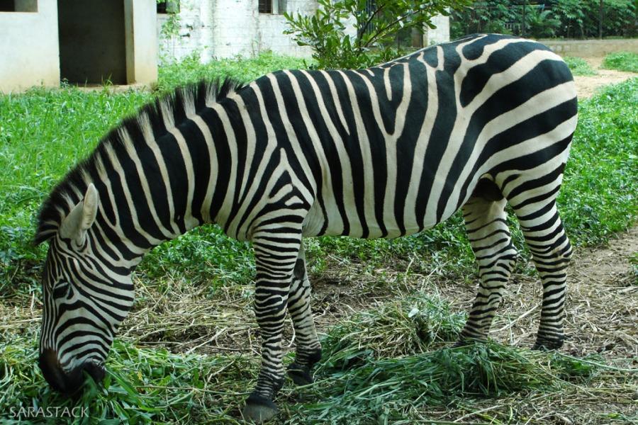 Tail Less Zebra