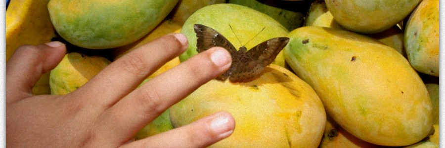 Touching Butterfly on Mango