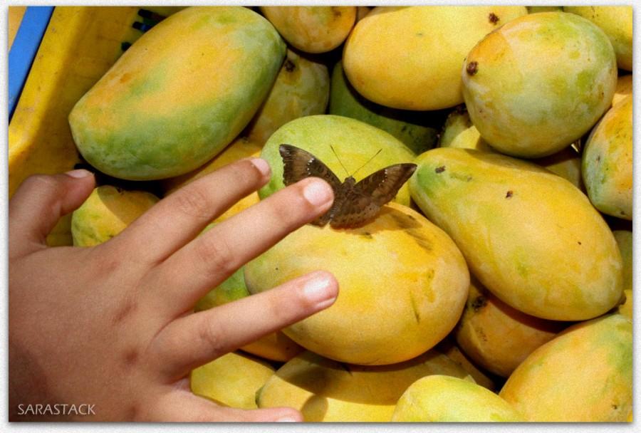 Touching Butterfly on Mango