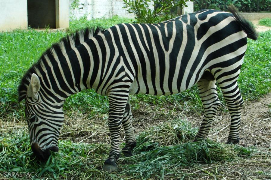 Indian Zebra