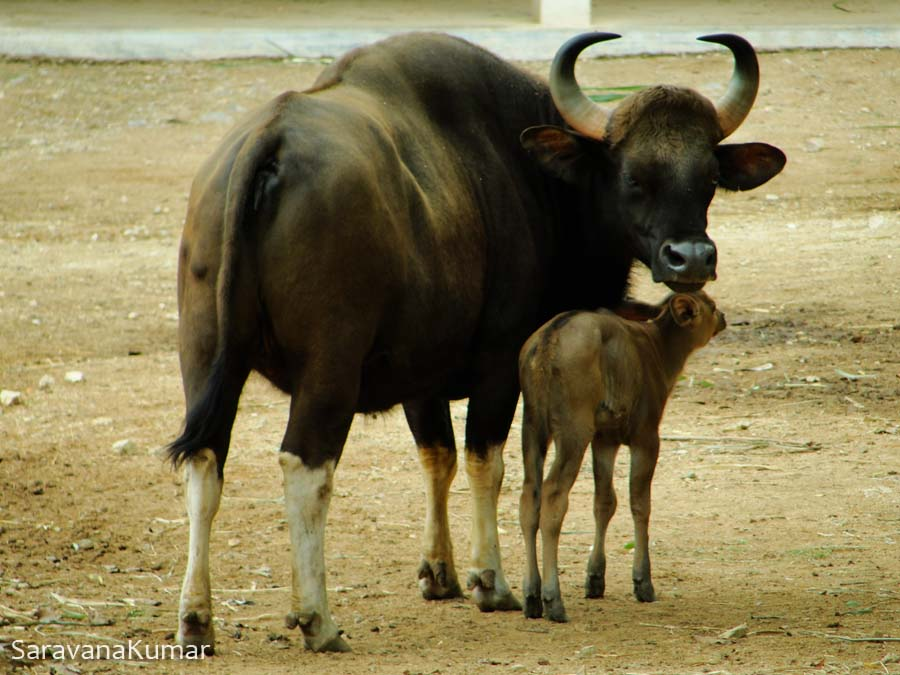Gaur with the calf