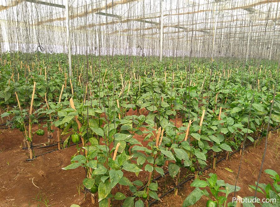 Capsicum Plantation