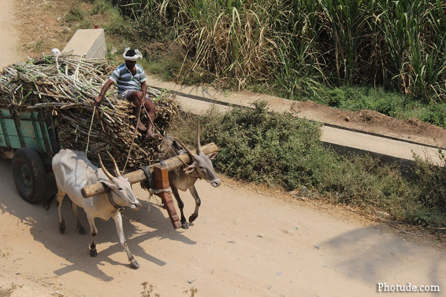 Bullock Kart Karnataka